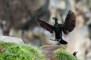 Cormoran huppé - Phalacrocorax aristotelis (Hornøya, Norvège)