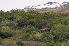 Two moose - Alaska (Captures.ch) Tags: aufnahme herbst baum gras himmel hügel landschaft nationalpark steine tag wald wolken animal tier elch capture clouds day fall foliage forest hills landscape moose mountains sky snow schnee stones tree denali alaska denalinationalpark