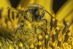 Night out with the LAAADZZZ! (stevenbailey7) Tags: bee bees pollen funny capture detail september flickr funnycaption naturephotography autumn bbcearth walesonline wales bbcwales natgeo flowers flora macrophotography laugh weirdbehaviour funnyanimalbehaviour comical nikon tamron drunk staggering new cool focus colour colourful nature entomology arthropod invertebrates awesome unusual strangebehaviour odd