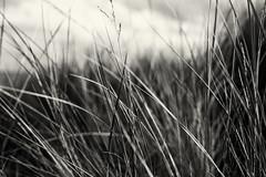 Lyngså (Muao) Tags: lyngså lyngsa monochrome monochrom noir blackandwhite canon 5dii 5dmk2 grass beach
