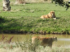 You swim over, it takes hours to dry my mane! (Simply Sharon !) Tags: lions lioness lion bigcats cats preditors carnivours animals yorkshirewildlifepark