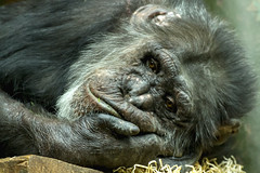 Chimpanzee (Kev Gregory (General)) Tags: chimpanzee chester zoo chimp primate animal mammal face head eyes sad hand beautiful hold rest hair hairy look kev gregory canon 7d