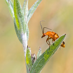 Competition: 18/09/2018 - PDI. League 1. Open. Soldier Beetle by Andrew C M Chu