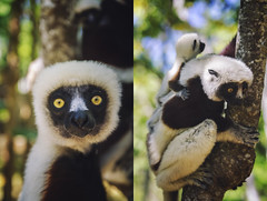 "Madagascar - ""Dancing"" lemur (Jarecki Photography) Tags: madagascar madagaskar trip holiday lemur nos iranja nose be jarecki adventure wale turtles sea ocean africa cameleon boa spider rum fishing island"