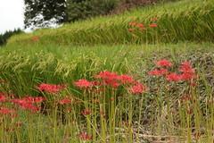 Flowers by the path (yukky89_yamashita) Tags: 明日香村 奈良 彼岸花 amaryllis clusters flowers roadside japan nara asuka village rice fields autumn