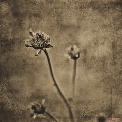 Chronicles (MBates Foto) Tags: availablelight bokeh botanicals daylight decay existinglight fineart floral flowers monochrome nikkorlens nikon nikond810 nikonfx outdoors plants sepia textures spokane washington unitedstates 99203