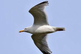 Seagull wearing lipstick