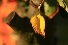 IMG_7309 Autumn leaf (MariuszWicik) Tags: macro view image autumn leaf canoneos5dmarkii lens polish poland polska eu europe colour tree