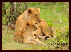 FEMALE LIONESS (Panthera leo) WITH HER CUB......MASAI MARA......SEPT 2017 (M Z Malik) Tags: nikon d3x 200400mm14afs kenya africa safari wildlife masaimara keekoroklodge exoticafricanwildlife exoticafricancats flickrbigcats leo lioness lioncubs ngc npc