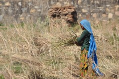 With Care and Grace (The Spirit of the World ( On and Off)) Tags: india nothernindia field grain rural brickfence work local asia wheat colorful sari everydaylife rajasthan