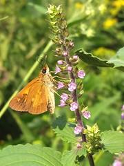 Broad-winged Skipper/Perilla (rstickney37) Tags: hesperiidae skipper northcarolinabutterflies