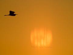 2015-11-22 P7920919 Lone Egret over reflection of setting sun (Tara Tanaka Digiscoped Photography) Tags: digiscoped digiscoping heron egret stmarksnwr sunset reflection sun florida grace silhouette manualfocus bird flight bif