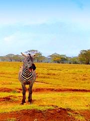 Kenya, Lake Nakuru National Park. Zebra (dimaruss34) Tags: newyork brooklyn dmitriyfomenko image sky clouds kenya svetlanafomenko lakenakuru lakenakurunationalpark trees forest grass zebra
