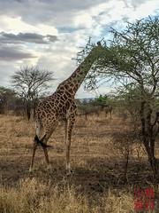 Maasai Giraffe (DragonSpeed) Tags: 28thkitsilanoscoutgroup 28thvancouverscoutgroup africa africanwildcatsexpeditions giraffacamelopardalistippelskirchi maasaigiraffe masaigiraffe safari scouts scoutscanada serengetinationalpark seroneraregion tanzania tanzaniaexpedition2018 venturerscouts venturers mammal thorntreetentedcamp mara tz