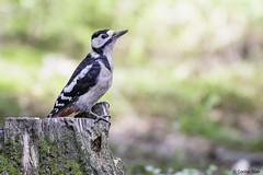 Young Great Spotted Woodpecker (Corine Bliek) Tags: dendrocoposmajor vogel vogels bird birds nature natuur spechten wildlife woods trees woodpeckers bos bomen young jong