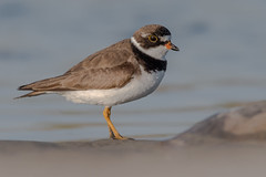 Semipalmated Plover (Explored 8/19/18) (Kevin Fox D500) Tags: semipalmated semipalmatedplover sigma150600sport sigma shorebirds shorebird stoneharbor stoneharborpoint nature nikond500 nikon newjersey bird birding birdwatching birds