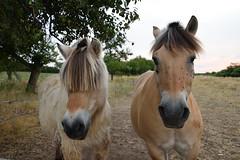 Envie d'une nouvelle coupe de cheveux pour la rentrée ? (Croc'odile67) Tags: nikon d3300 sigma contemporary 18200dcoshsmc cheval nature paysage landscape