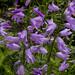 Bell-Shaped Larkspur, Parnell Rose Garden (Nancy Steen Garden), Mission Bay, Auckland NZ