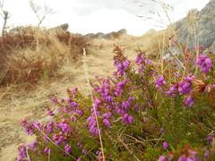 DSCN5740 (norwin_galdiar) Tags: bretagne brittany breizh finistere monts darrée nature landscape paysage bruyère heather