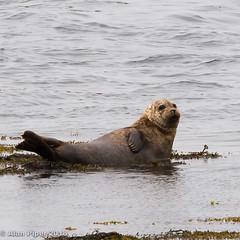 Common Seal (PapaPiper) Tags: commonseal seal wildlife ireland eire mammal seamammal