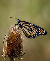 Risky Business (Portraying Life, LLC) Tags: dbg6 da3004 hd14tc k1mkii michigan pentax q7 ricoh unitedstates butterfly closecrop handheld nativelighting teasel spiny meadow baxterroad brown