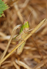 2018_07_0266 (petermit2) Tags: meadowgrasshopper grasshopper northcavewetlands northcave brough eastyorkshire eastridingofyorkshire yorkshire yorkshirewildlifetrust ywt wildlifetrust wildlifetrusts