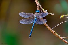 Une belle en bleu (jpto_55) Tags: libellule aeshneaffinemâle bleu proxi bokeh xe1 fuji fujifilm fujixf55200mmf3548rlmois hautegaronne france ngc