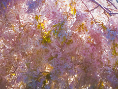 The Light of Spring (Steve Taylor (Photography)) Tags: digitalart pink pastel yellow white newzealand nz southisland canterbury christchurch blossom branch tree sunny sunshine spring