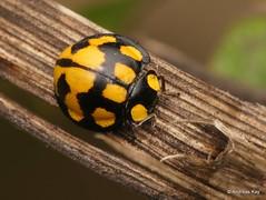 Lady Beetle, Neda aequatoriana or norrisi? (Ecuador Megadiverso) Tags: andreaskay beetle birdwatcherslodge coccinellidae coleoptera ecuador ladybeetle mindo nedaaequatoriana nedanorrisi