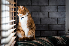 Watching Cars (brad_bride_brian_braiden) Tags: draco kitten cat young tabby ginger photography petphotography pet companion family love leadinglines composition contrast brick blinds couch cute adorable nikon nikond500 dslr portrait bokeh stare distracted light