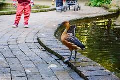 (Rugaia Ba) Tags: plettenberg 2018 gardenroute southafrica eden bird birds duck birdsofeden