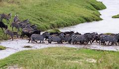 Great Migration in Serengeti National Park in Tanzania (xiao_fan19454) Tags: greatmigration serengeti serengetinationalpark tanzania africa safari wildebeest zebra marariver