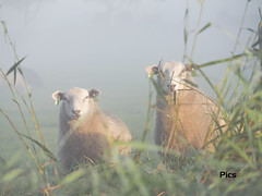 Foggy morning (Picsall Photography) Tags: schaap sheep schapen morgen ochtend matin mouton mist mistig fog morning riet boerderij boerderijdier animal nederland noordholland dutch paybas weiland ferme