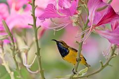 Olive-backed Sunbird (Nectarinia jugularis) (Ian Colley Photography) Tags: cairns queensland canoneos7dmarkii ef500mmf4lisusm olivebackedsunbird nectariniajugularis