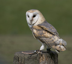 Beautiful Barn Owl (dramadiva1) Tags: barnowl yorkshire helmsley