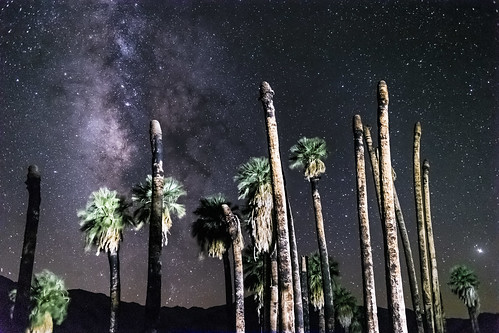 Illuminated Palm Trees and the Milky Way at Corn Springs, California