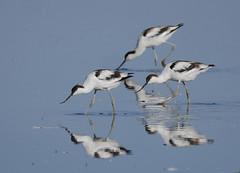Avocets (yvonnepay615) Tags: panasonic lumix gh4 nature birds avocets nwt norfolkwildlifetrust cleymarshes norfolk eastanglia uk