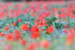 Poppyfield bokeh. (pstone646) Tags: poppies flora flowers bokeh nature kent meadow red green dof
