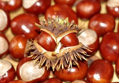 European horse-chestnut (2) (Simon Dell Photography) Tags: horse chestnuts conkers autumn fall winter display scene colors nuts seeds lots