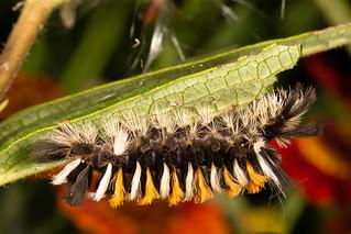 Milkweed Tussock Moth - Euchaetes egle