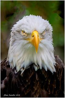 One Eyed Bald Eagle