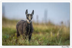 Tout ouïe aussi le p'tit ! (C. OTTIE et J-Y KERMORVANT) Tags: nature animaux mammifères chamois vosges france
