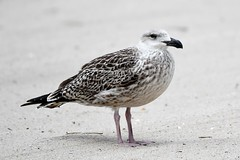 Gull (j shew) Tags: islandbeachstatepark gull jersey shore