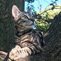 Cat in Tree (Ron van Zeeland) Tags: pussycat park oak animal pussy poes poezen tree pets kitten katten cats cat wood pet forest lola bengaal bengal