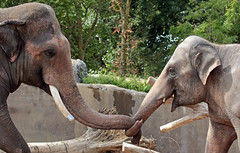 asiatic elephant Nicolai and Yindee artis JN6A1610 (j.a.kok) Tags: elephant asia asiaticelephant azie aziatischeolifant animal artis mammal zoogdier dier herbivore olifant yindee nicolai