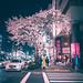 Chuo Sakura - Tokyo, Japan