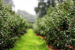 rainy day at the apple farm...🍎🍏🍓😊❤️ (ggcphoto) Tags: orchard applefarm green grass trees nature healthy eating outdoor ireland