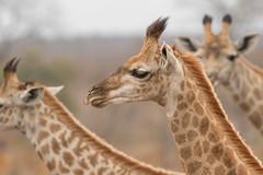 Jirafas (ik_kil) Tags: jirafa giraffe giraffacamelopardalis krugernationalpark southafrica