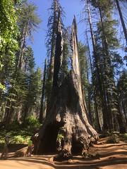 Groveland, Yosemite National Park (AdrnTwd) Tags: unitedstates america nationalpark yosemite yosemitenationalpark california usa tree