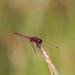 Trithemis annulata (Violet Dropwing)